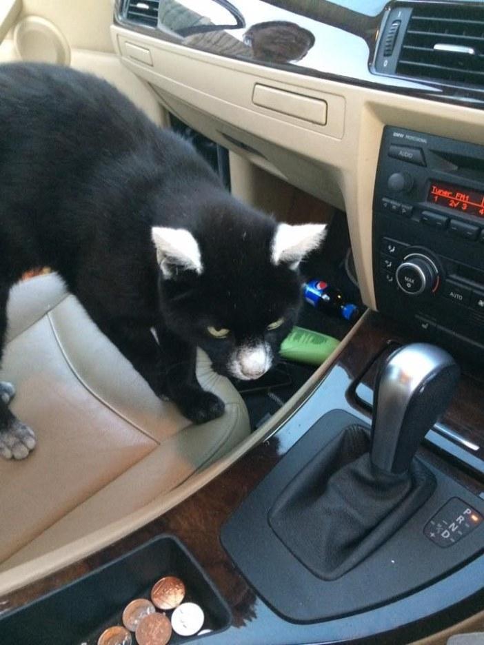 車の中の猫