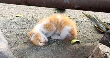 道路脇で衰弱していた子猫。夫婦のとっさの行動で元気を取り戻すと… 甘えん坊の姿を見せてくれた (*´ω`*) 9枚