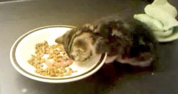 ご飯を食べながら寝ている子猫