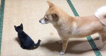 新入り子猫がどうしても気になる柴犬。いつの間にかベビーシッターになって、離れられない存在に (*´ω`*)♡