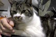 鳴き声が変わる猫