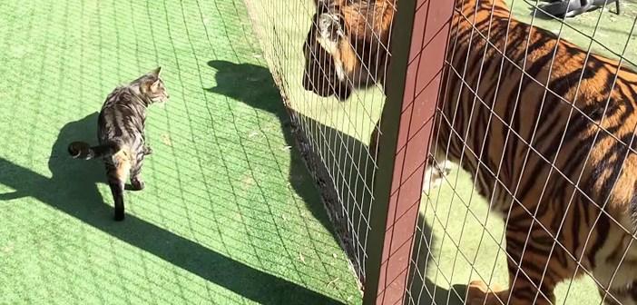 自分の何倍もあるトラの様子をうかがっていた猫さん。いきなり急接近し、嬉しそうに挨拶を交わす姿にビックリ (*゚0゚)!