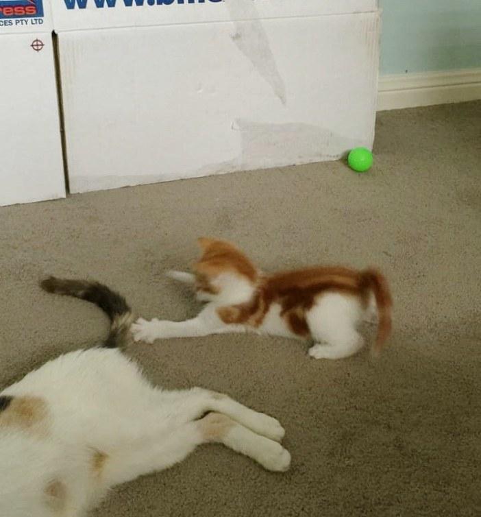 シッポで遊ぶ子猫