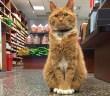 猫店長になった猫