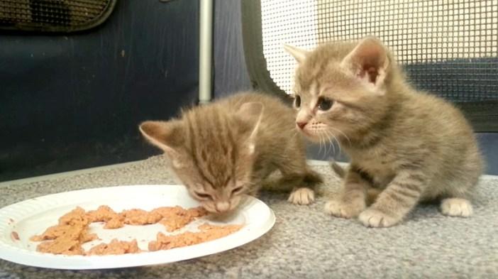 離乳食を見つめる子猫