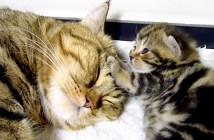 眠るお母さんを起こす子猫