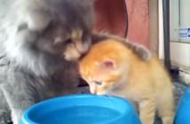 子猫に水の飲み方を教える母猫