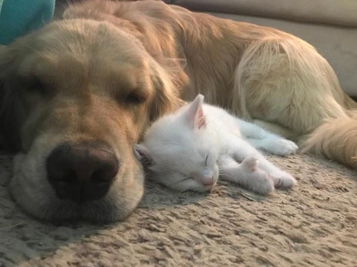 犬と一緒に眠る子猫