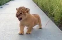吠える練習をするライオンの赤ちゃん