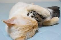 猫を起こそうとする子猫