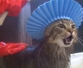 シャンプーハットを被って無敵になった猫さん。でも、やっぱりちょっとドキドキするようで  ( *´艸`)♡
