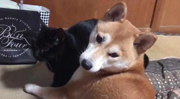 猫と困惑する柴犬