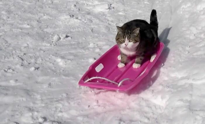 ソリを乗りこなす猫