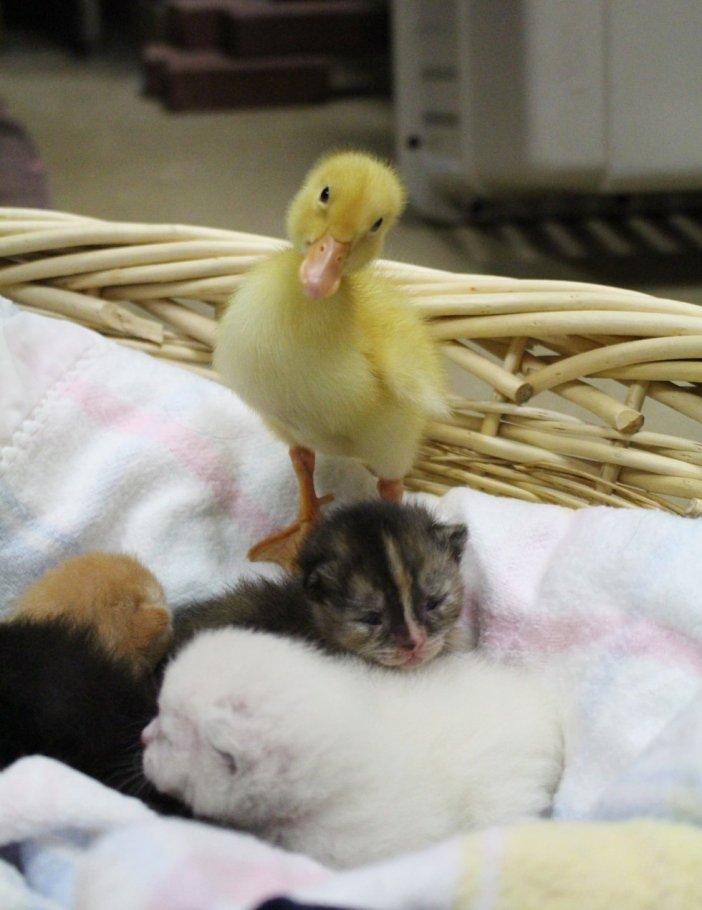 子猫とアヒル