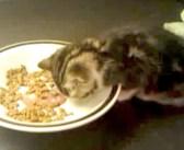 ご飯を食べてると思ったら寝てた♪ 飼い主さんが子猫に声を掛けてみると、可愛い反応が返ってきた ( *´艸`)♡