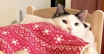 ベッドに入る猫