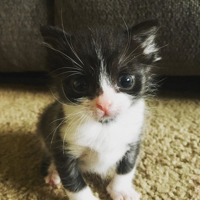 見つめる子猫