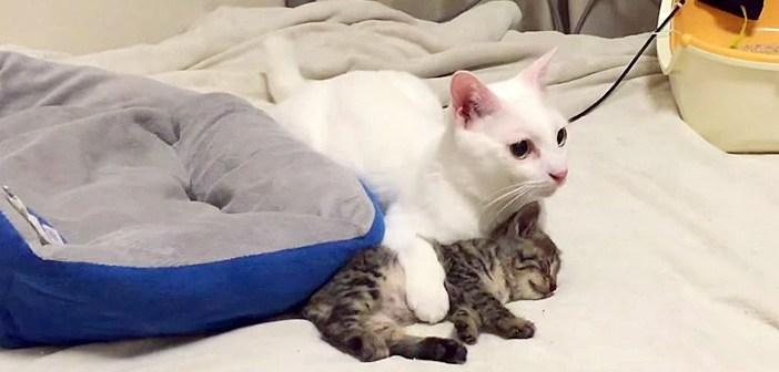 地震から身を挺して保護子猫を守る猫。そんな優しい行動に、子猫もすっかり安心しているようで (*´ェ`*)