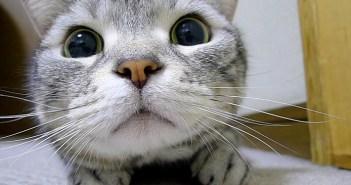 「にゃんだあれは!?」興味津々の表情で動きを追う猫さん。真剣になればなるほど可愛い姿を見せてくれた ( *´艸`)♡