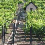 Vineyards_in_Swabia