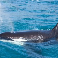 Kaikoura Dolphin Encounter