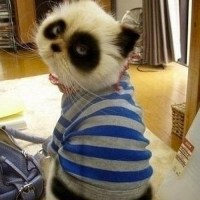 Panda cat is not amused