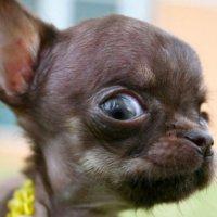 Worlds smallest dog contendor?