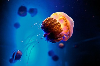 10-small-cute-jellyfish-photography