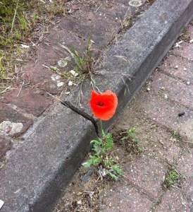Gutter poppy