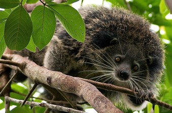 The Binturong (Arctictis binturong), also known as the Asian Bearcat, the Palawan BearcatPalawan