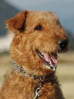 エアデールテリア,犬,可愛い画像,まとめ012