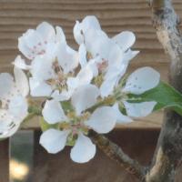 Espalier Fruit Trees & the Urban Farm