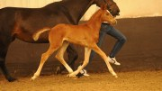 Great British Mare and Foal Show Woodlander Wild Child, the highest-scoring dressage foal to date. Image credit Kevin Sparrow