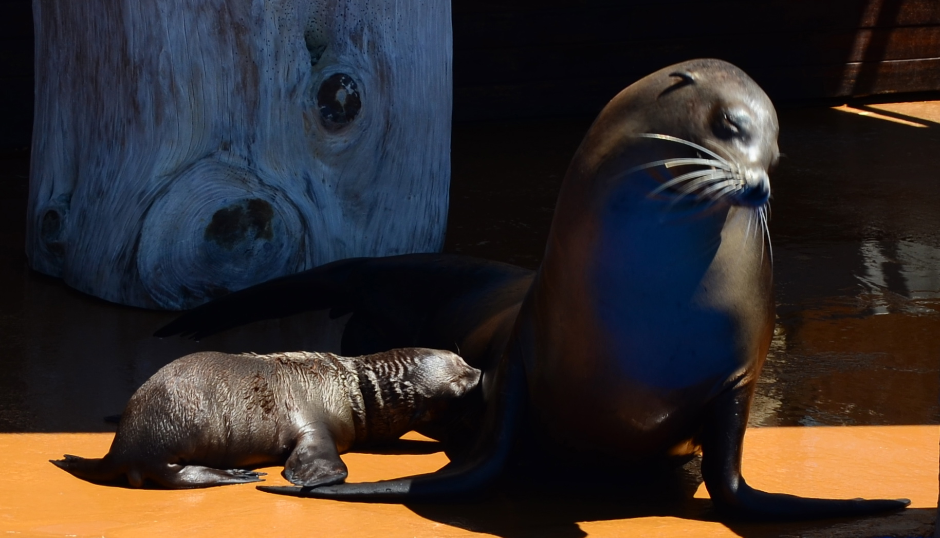marine animals in captivity Marine mammals, like all animals in the wild,  alliance of marine mammal parks and aquariums supports the humane and lawful collection of marine mammals from.