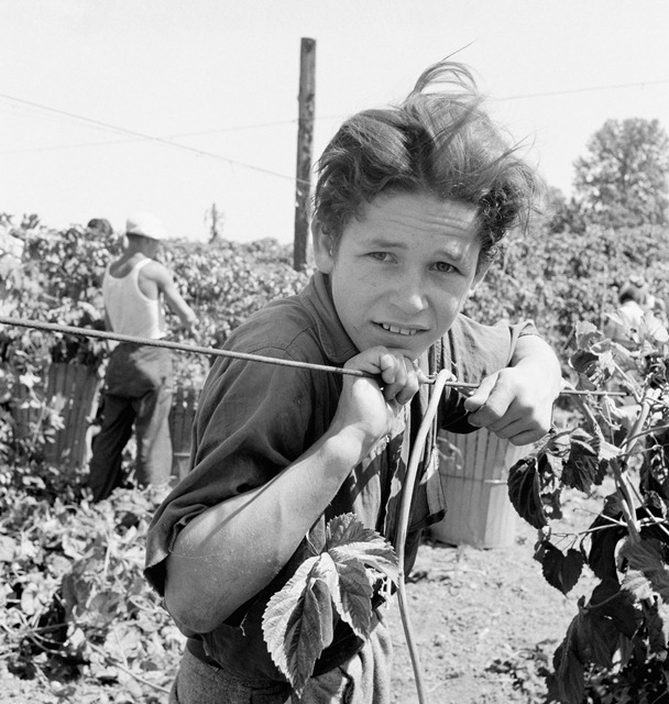 Migratory boy, aged eleven, and his grandmother work side by side picking hops