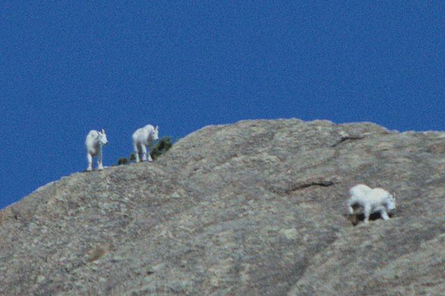 Mountain Goats, Custer State Park, South Dakota, August 2014