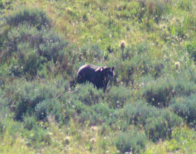 Grizzly Bear, Hayden Valley, Yellowstone National Park, Wyoming, August 15, 2014