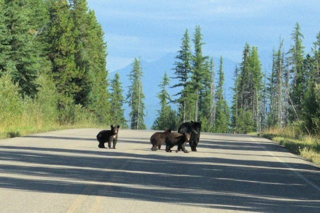 Black bears, Glacier National Park, Montana, August 28, 2014