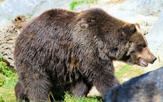 Grizzly Bear image form Wikipedia