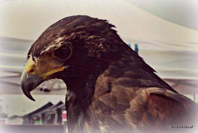 Raptors at the first ever Whitby Ribfest