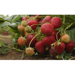 Small Crop Of Fruit That Starts With E