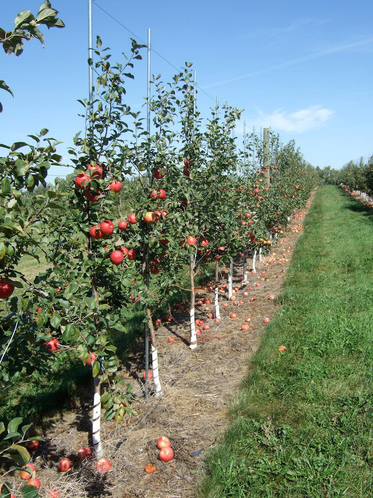 Regaling Wrapping Around Lower Trunks Growing Apples Row Apples On M Young Apple Trees Home Garden Umn Extension Honeycrisp Apple Tree Colorado Honeycrisp Apple Tree Seeds houzz-03 Honeycrisp Apple Tree