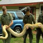 Twenty Foot Snake Taken from Home in New York – Video