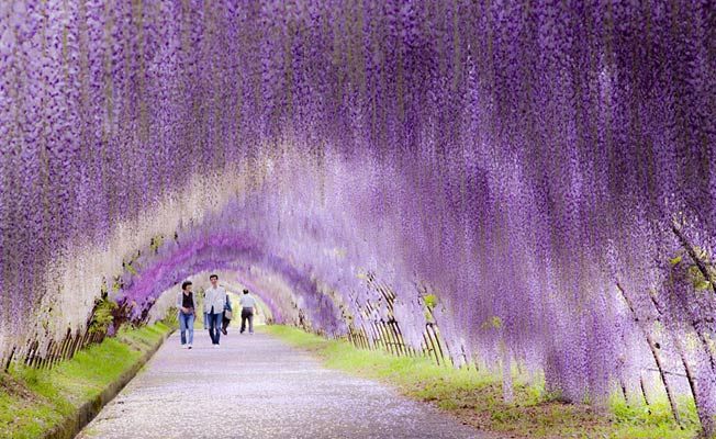 Wisterie blomster tunnel i Japan
