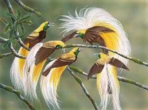 17 Types Birds of Paradise Papua   Characteristics   Images   Facts     Lesser Bird of Paradise