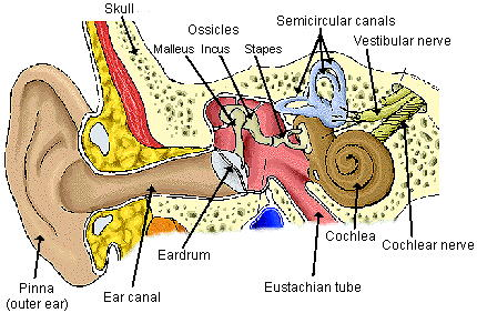 the sound vibrations pass from the eardrum to the middle ear bones, Human Body