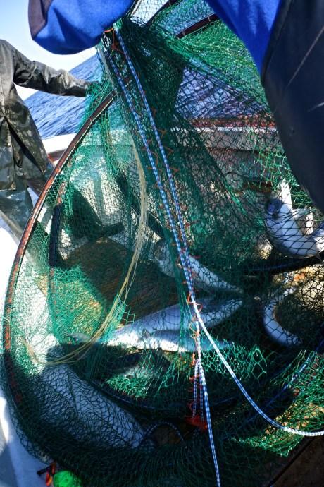 lachsfischerei