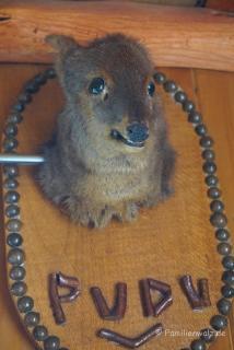Pudu, kleinstes Reh der Welt in Chepu, Chiloé