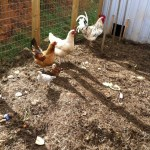 Chickens and the garden