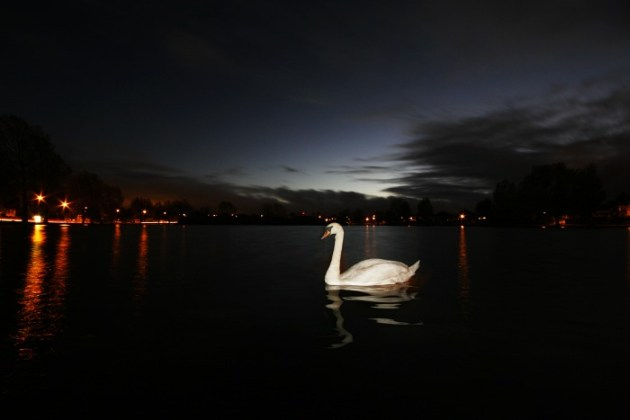 The lonely swan